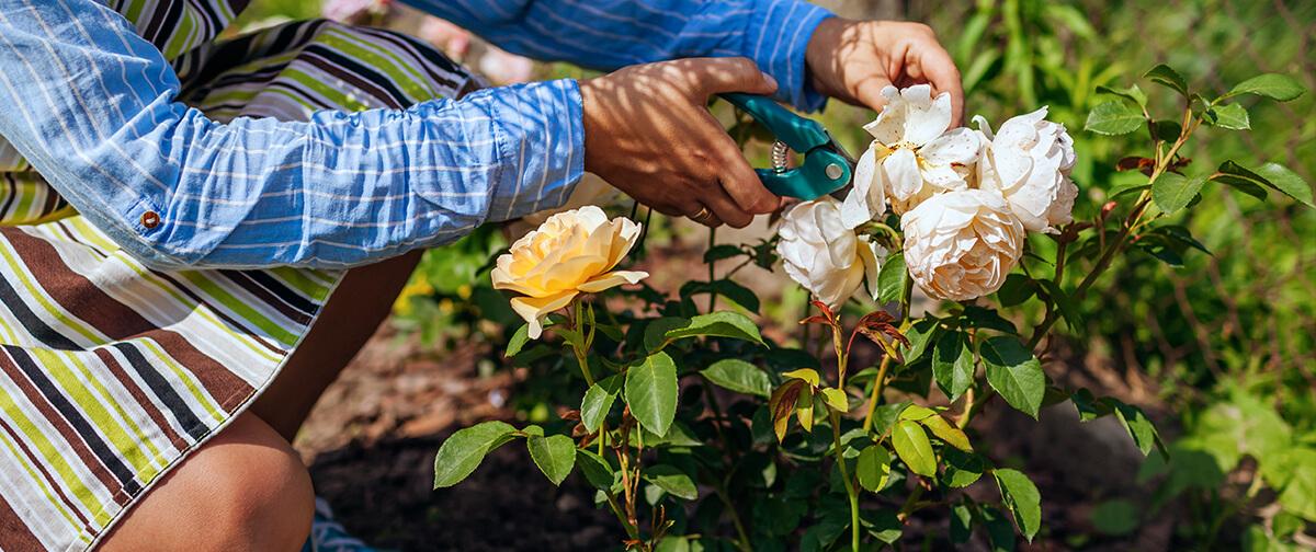 meyer landscape rose care person deadheading white roses