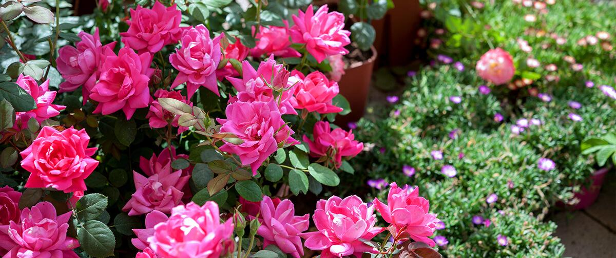 meyer landscape rose care pink roses up close