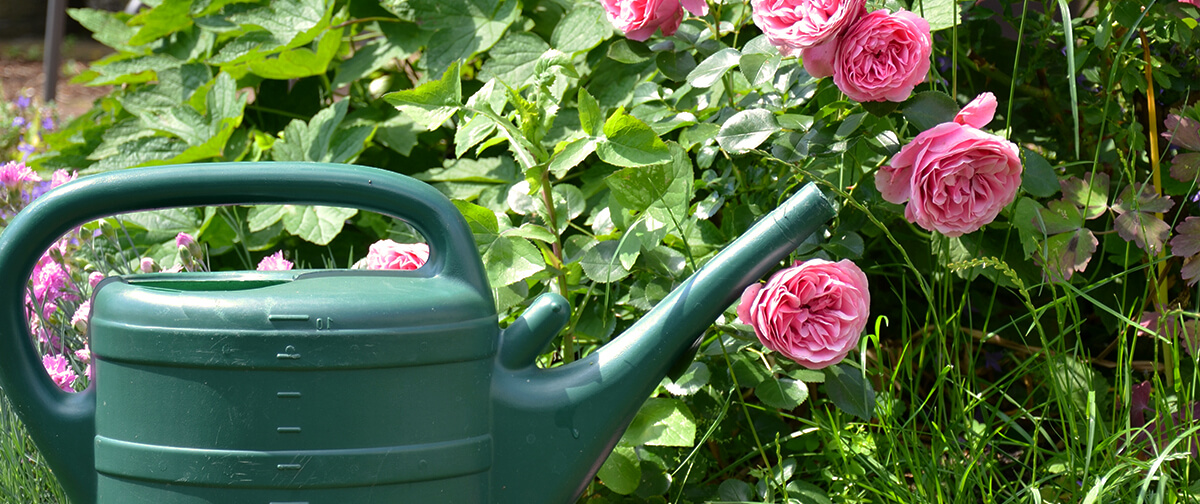 meyer landscape rose care pink roses watering can