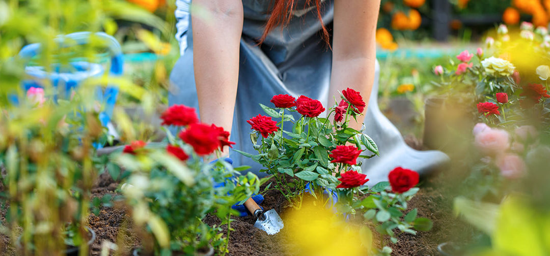 Learn How to Care for Roses in the Midwest photo