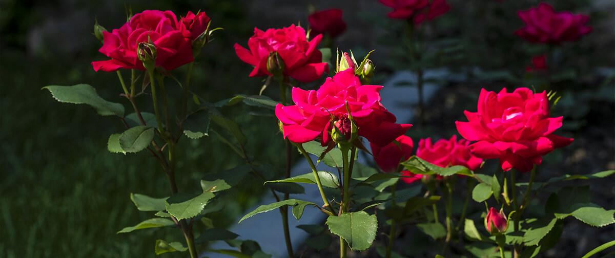 meyer landscape rose care red roses dark background