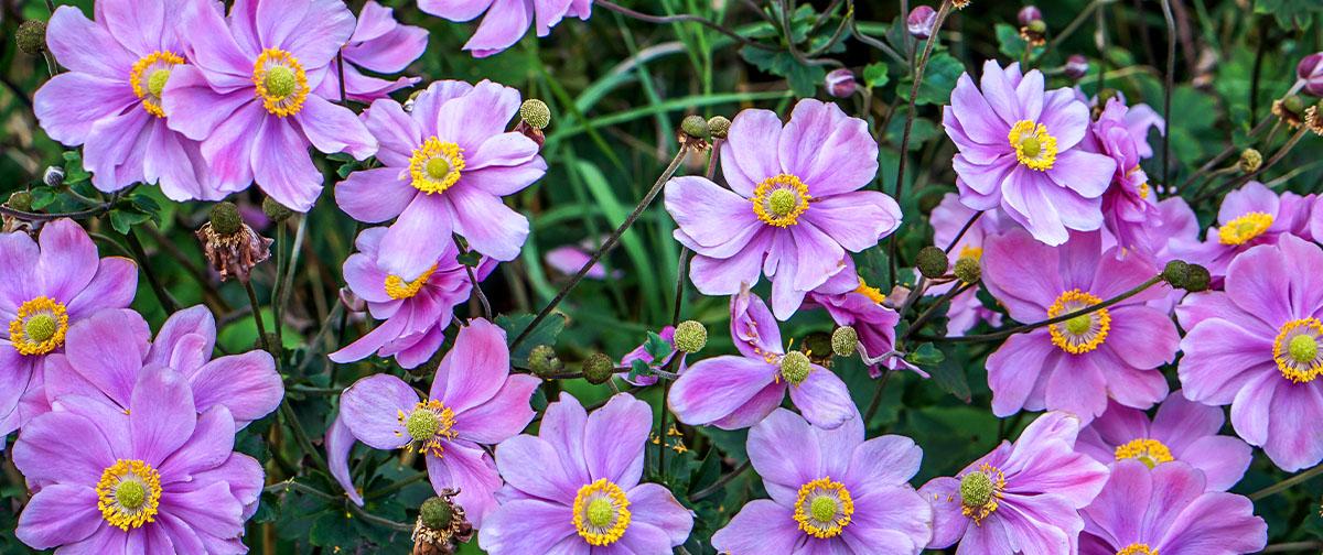 japanese anemone pink