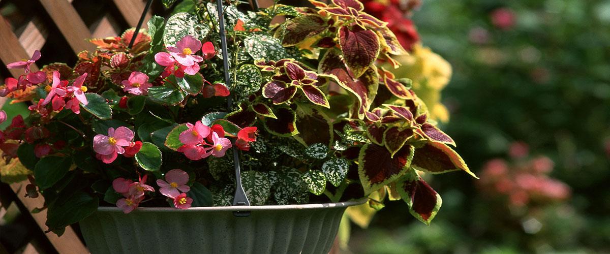 coleus and begonia hanging basket planter