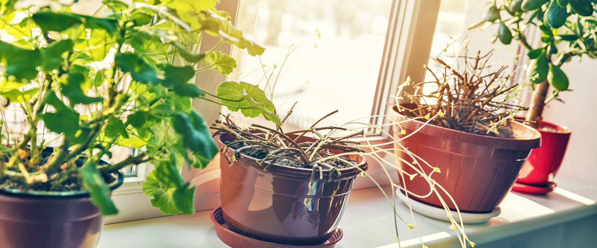 dormant houseplants on windowsill