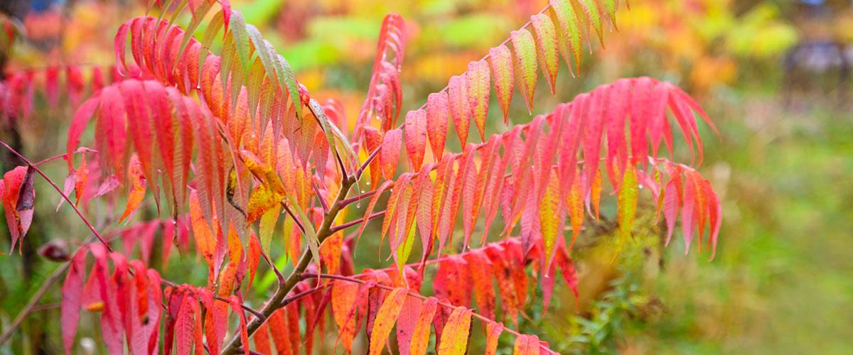 sumac tree in autumn
