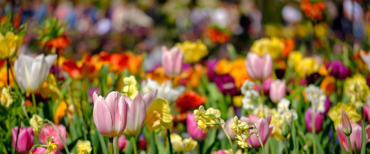 spring blooming bulbs Meyer Landscape